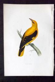 Morris 1870 Antique Bird Print. Golden Oriole